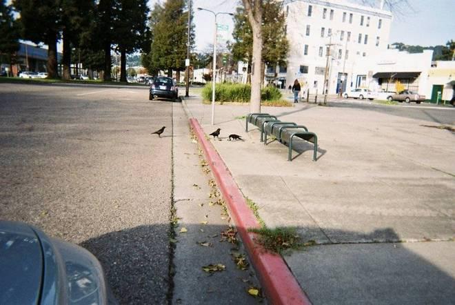 California crows eating avocados
