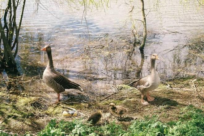 Goose family portrait