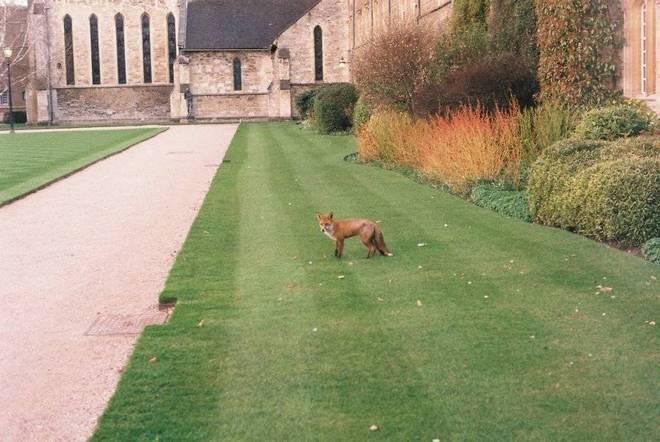 College fox