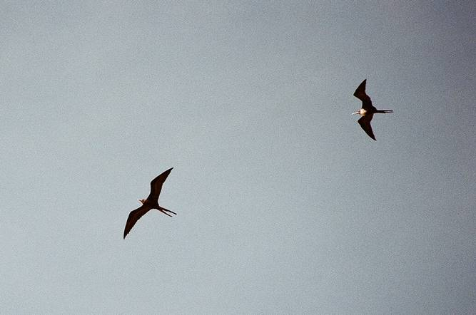 The Magnificent Frigatebirds