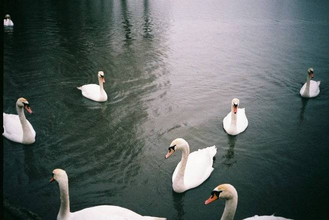 Some swans