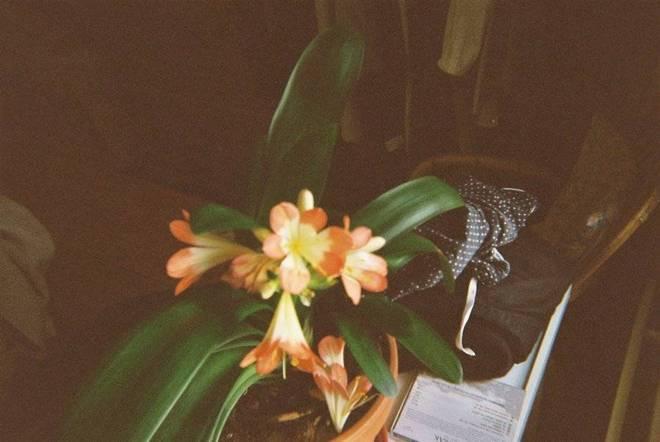 Clivia flower explosion