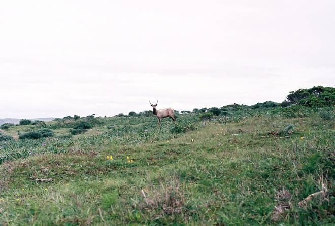 Buck Tule Elk