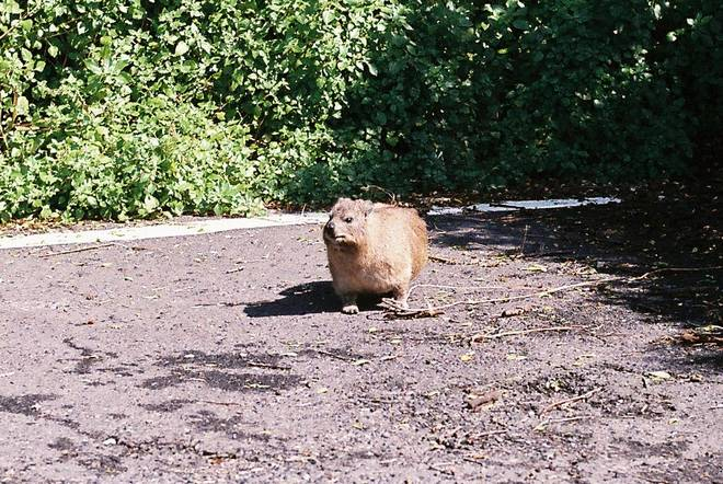 Chilled-out car park dassie