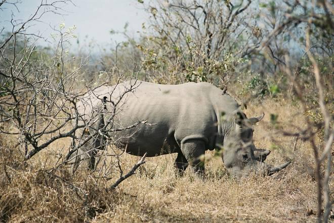 White rhino fuck you up